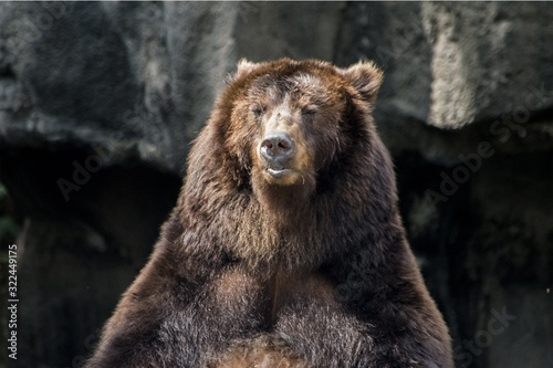 Beautiful shot of the brown bear with black stones in the background