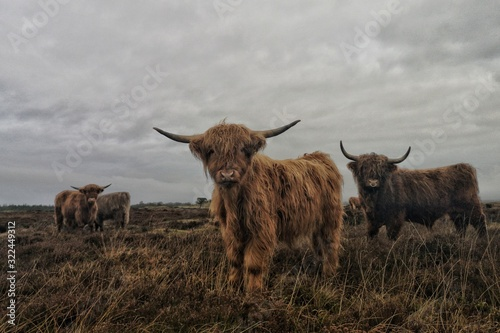 Fototapeta Beautiful shot of a group of long-haired highland cattle with a cloudy gray sky
