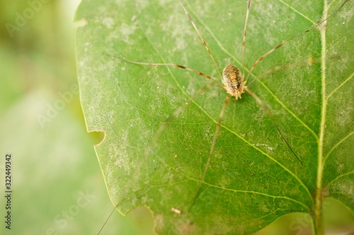 Photo Closeup shot of a brown arachnid with long legs on a leaf
