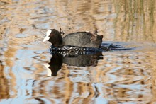 Closeup Shot Of An American Coot Swimming On The Lake
