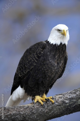 Vertical shot of a bald eagle perched on a tree limb Wallpaper Mural