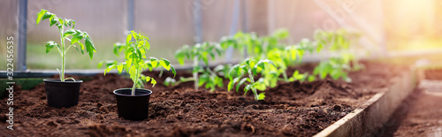 Fototapeta tomato seedlings growing in the soil at greenhouse obraz