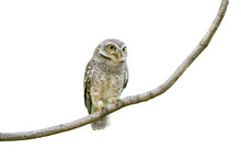 Spotted Owlet Isolated On Whit...