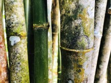 Close Up Bamboo Trees In The F...