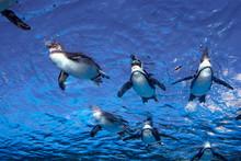 Penguins Swimming At Sunshine ...