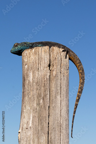 Southern rock agama perched on a post against blue sky. Wallpaper Mural