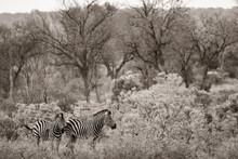A Pair Of Plains Zebras, Equus...