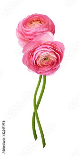 Obraz na plátně Pink ranunculus flowers