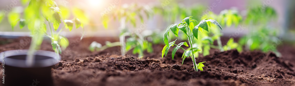 Fototapeta tomato seedlings growing in the soil at greenhouse
