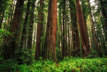 Views In The Redwood Forest, Redwoods National & State Parks California