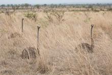 Three Female Ostriches, Struth...