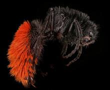 Lovely Mutillid Wasp, (velvet ...