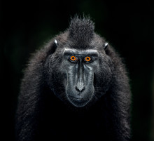 The Celebes Crested Macaque. C...
