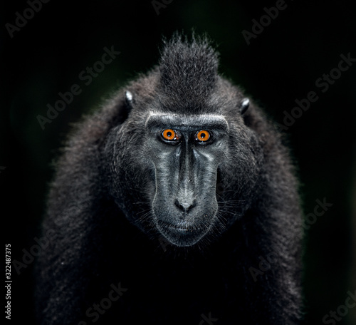 The Celebes crested macaque Wallpaper Mural