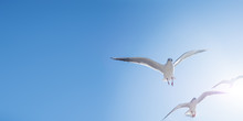 Seagulls Float In The Air. Bot...