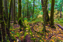 Oregon Forest, Willamette Nati...