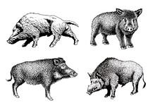 Graphical Set Of Wild Hogs Isolated On White Background, Jpg Illustration