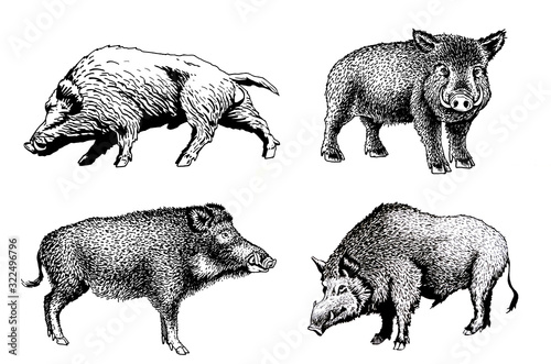 Fotografía Graphical set of wild hogs isolated on white background, jpg illustration