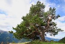 Zirbelkiefer (Pinus Cembra) Alter Baum In Den Alpen, Südtirol, Italien