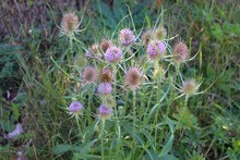 Flowers Of Wild Teasel In Autumn, Also Called Dipsacus Fullonum Or Wilde Karde, Selected Focus