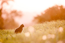 Cat Silhouette In Backlight During Sunset