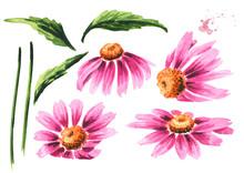 Echinacea Purpurea Flowers And...