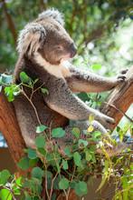 Sleepy Koala Bear Portrait Captured In Victoria Australia