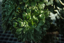 Crassula Ovata (Jade Plant,Mon...