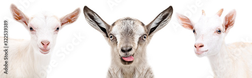 Leinwand Poster Portrait of two cute white goats and gray goat showing tongue isolated on white
