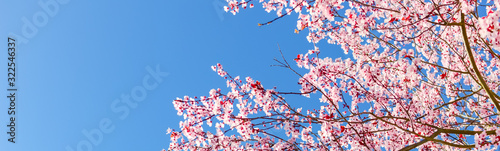 Obraz Panoramic upward view large cherry tree blooming flower in sunny spring blue sky - fototapety do salonu
