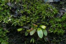 Lichen,fungus Or Moss That Gro...