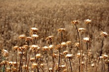 Field Of Dry And Brown Thistles