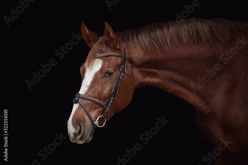 Fototapeta portrait of young red trakehner mare horse in brown bridle isolated on black background obraz