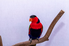 Lorry Parrot Lory (Lorius Lory) On Wooden Perch With White Background.