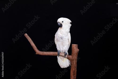 Photo White cockatoo closeup with black background.