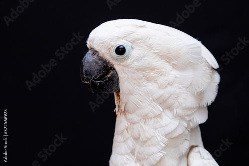 White cockatoo closeup with black background. Canvas Print