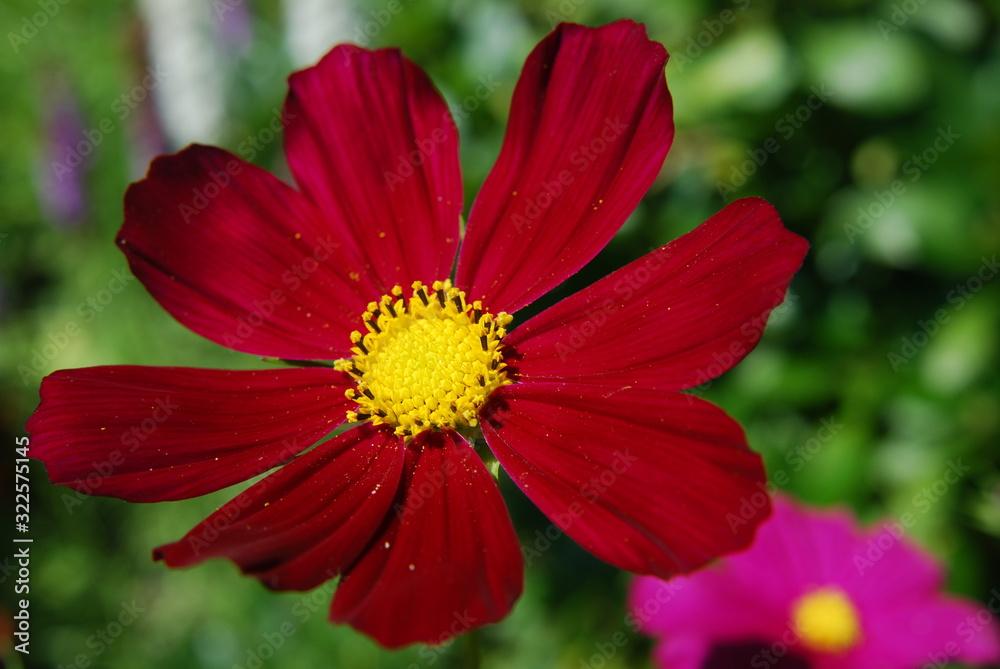Fototapeta Kwiaty w ogrodzie - onętek prawdziwy kosmos