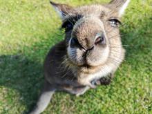 Large Kangaroo Nose Close-up. ...