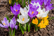Mixed Hybrid Crocus Flowering ...