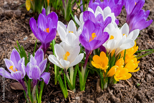 Obraz Mixed hybrid crocus flowering in the early spring garden. - fototapety do salonu
