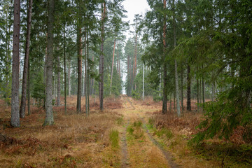 FototapetaForrest - Forest Knyszyn (Poland) - Taiga forest
