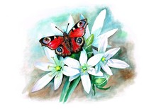 """Watercolor Illustration """" Aglais Io Butterfly On Ornithogalum Flowers"""""""
