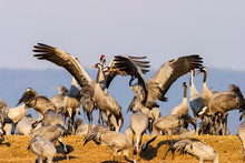 Dancing Cranes At A Field In S...