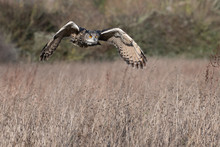 Eurasian Eagle Owl (Bubo Bubo) Flying Over A Meadow In Gloucestershire, UK