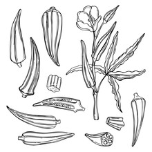 Hand Drawn Okra. Vector Sketch Illustration
