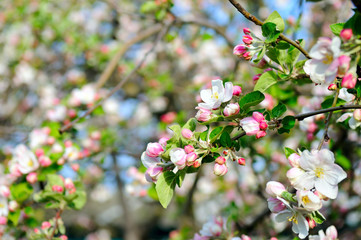 Flowers of an apple tree. Shallow depth of field.