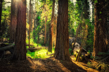 Sunrise In The Sequoia Forest, Yosemite National Park,
