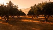 Olive Trees Farm, Frangokastel...