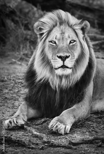 Male black maned lion portrait close-up in black and white looking fixed at the camera Wallpaper Mural