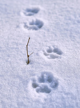 Dog Footprints On The Snow Nex...